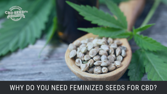 feminized cbd seeds