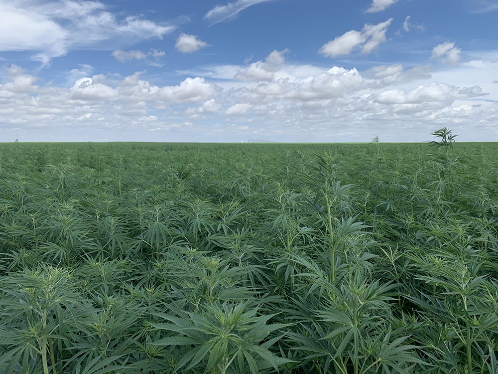 colorado hemp farms