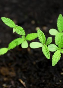 georgia regulations for growing seeds and clones