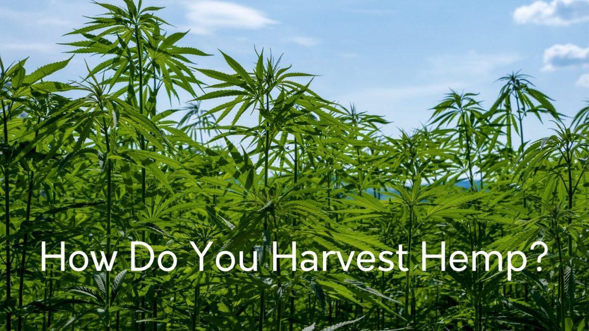 how do you harvest hemp plants