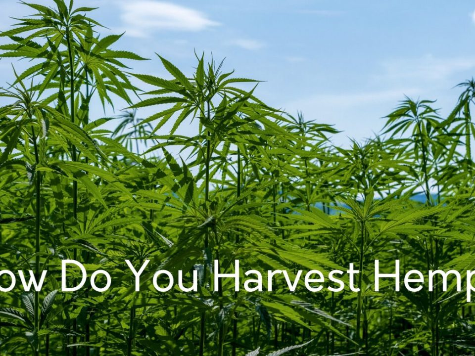 how do you harvest hemp plants