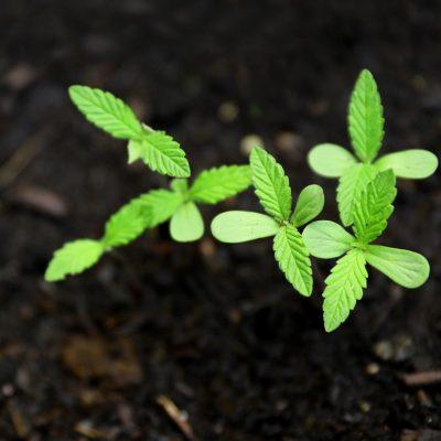 alaska regulations for growing hemp seeds and clones
