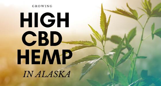 growing high cbd hemp in alaska