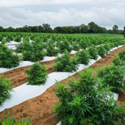 cbd hemp plant field, new york regions