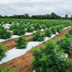 rhode island, cbd hemp plant field