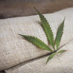 cbd seed hemp leaf