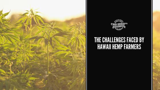 hemp field, the challenges faced by hawaii hemp farmers