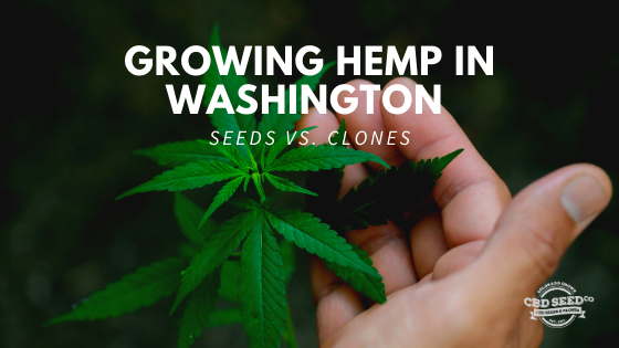 growing hemp washington seeds vs clones