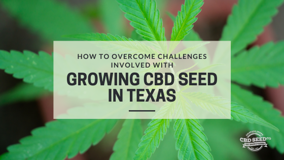 overcome challenges growing cbd seed texas