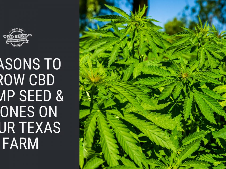reasons grow cbd hemp seed clones texas