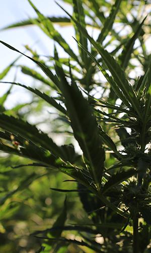 cbd-seed-co-where-we-grow-regulations-kentucky