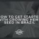 get started growing hemp seed brazil