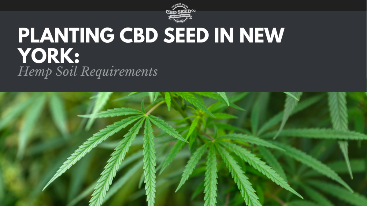 cbd seed new york