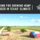 growing hemp cbd seed texas climate