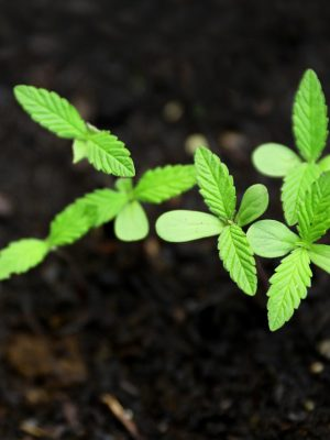 hawaii regulations for growing seeds and clones