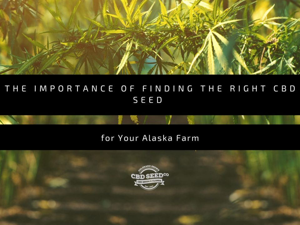 the important of finding the right cbd seed