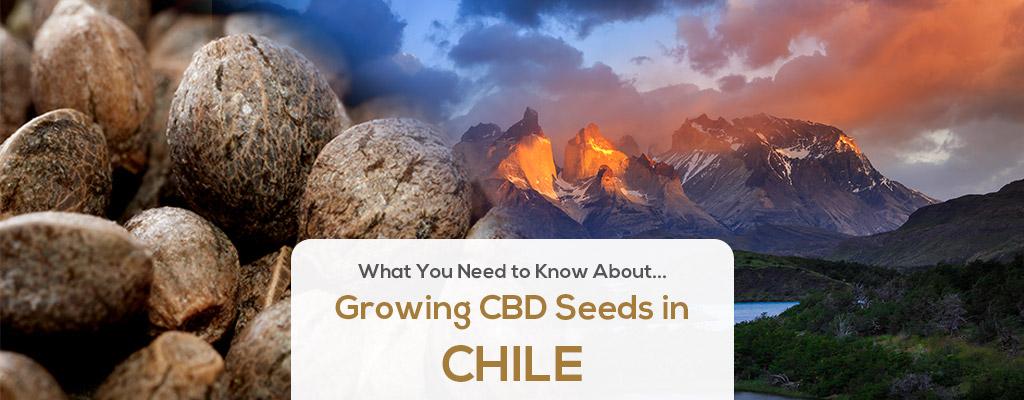 cbd seed chile