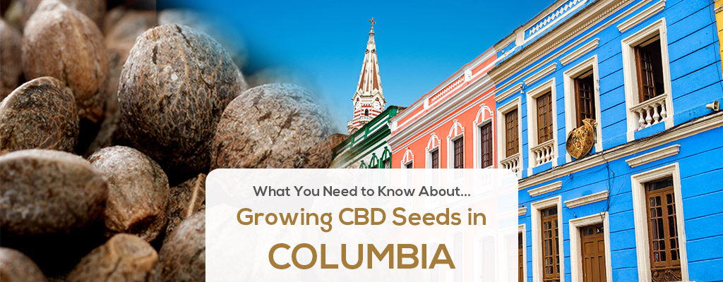 cbd seed colombia