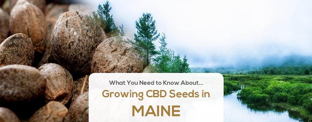 cbd seed maine