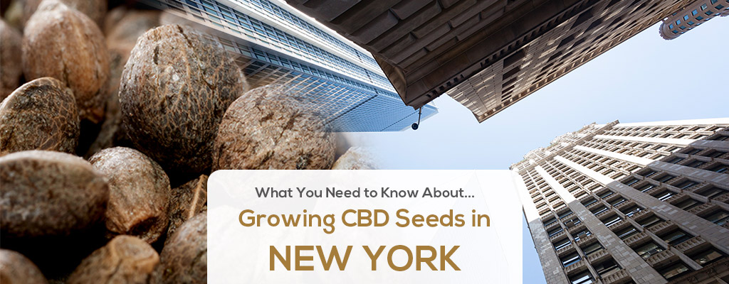 cbd seed new york