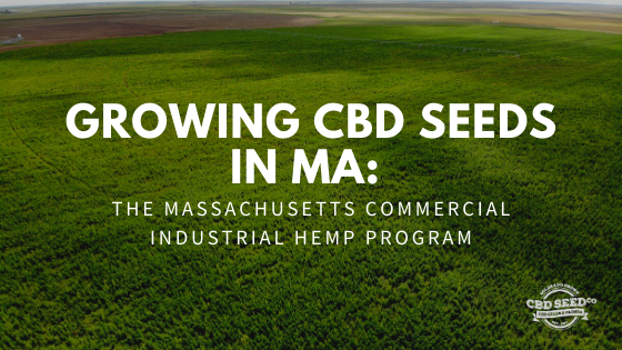 growing cbd seeds massachusetts hemp program