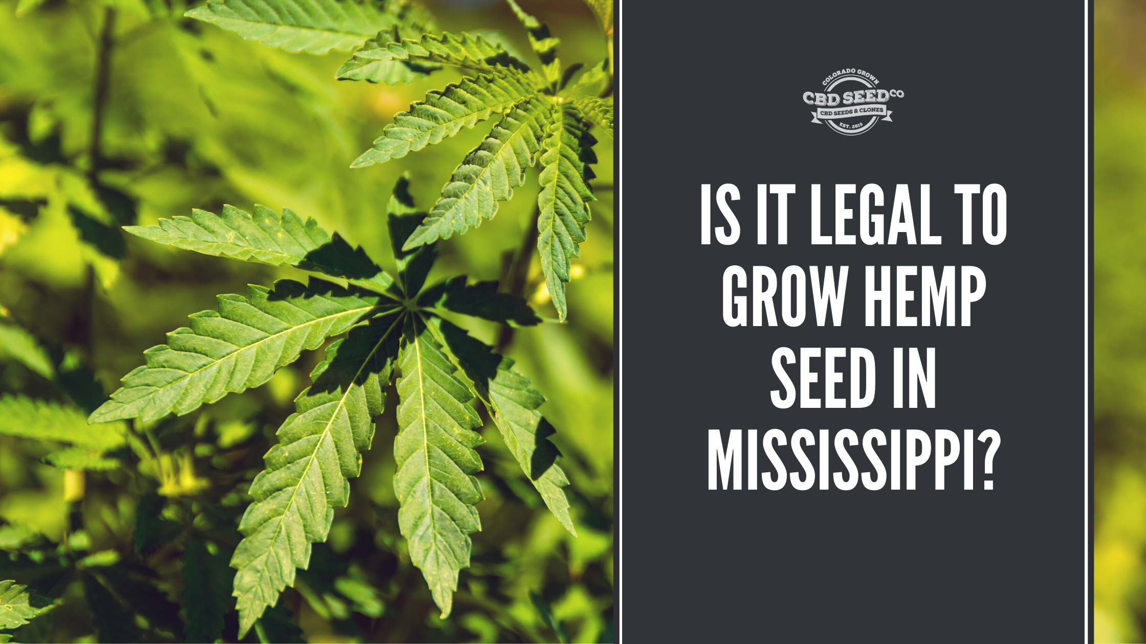 Is It Legal To Grow Hemp Seed In Mississippi Cbd Seed Co