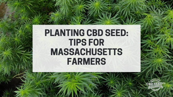 planting cbd seed tips massachusetts