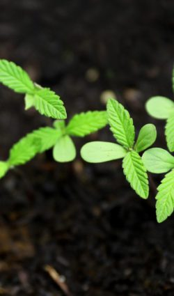 cbd seed lesotho