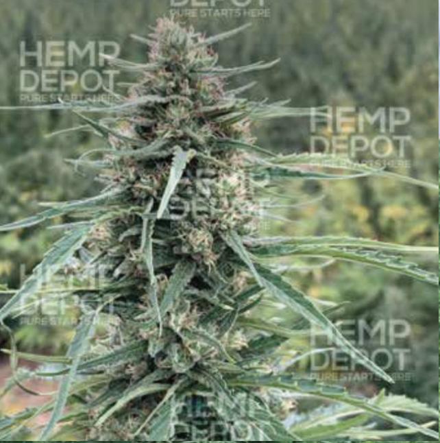 boax feminized hemp CBD flower maine