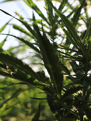 cbd seed co where we grow regulations florida