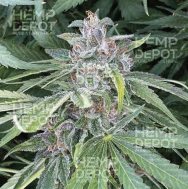 baox high cbd hemp clones texas
