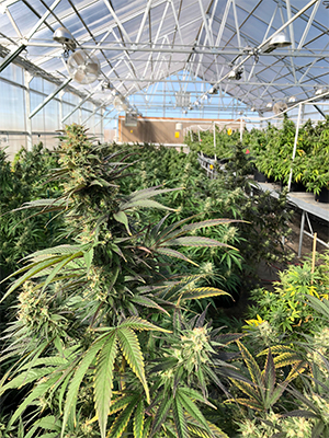 cbd seed texas hemp and seed news
