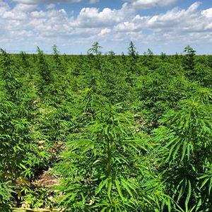 cbd seed texas hemp farming