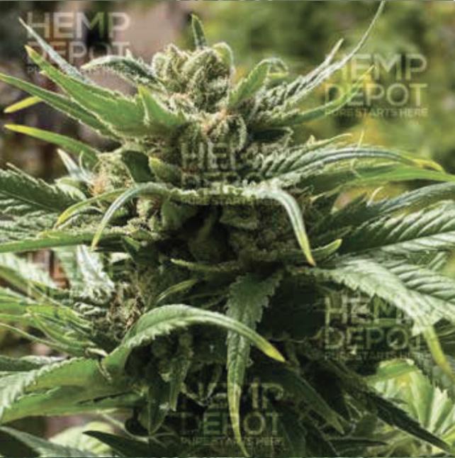 cherry hd feminized hemp seed texas