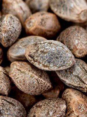 cbd seed kansas